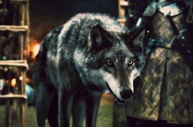 Saiba qual foi o destino dos seis Lobos Gigantes da família Stark